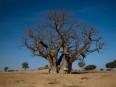 10 - Baobab v Senegale