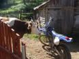 Zúrivá krava